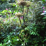 Angelica sylvestris-1