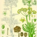 """Aus Köhlers """"Medizinalpflanzen"""" 1882"""
