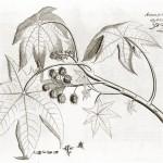 """Aus van Rheedes """"Hortus Malabaricus"""""""