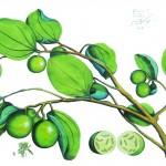 """Aus dem """"Hortus Malabaricus"""" von van Rheede, coloriertes Blatt"""