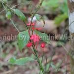plumbago roscea2-5